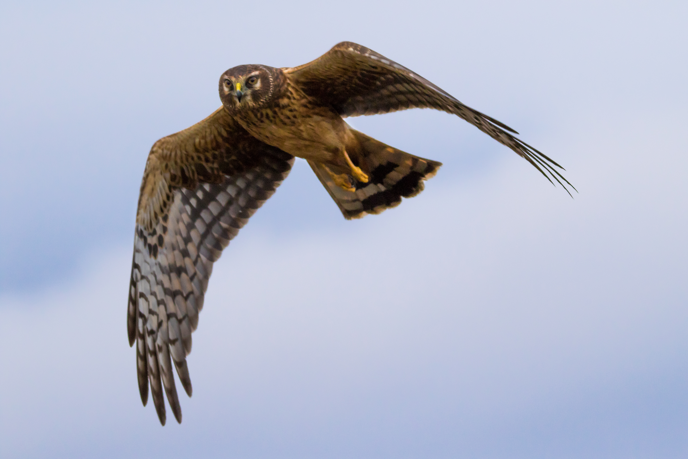 Hawks, Harriers, And Other Birds