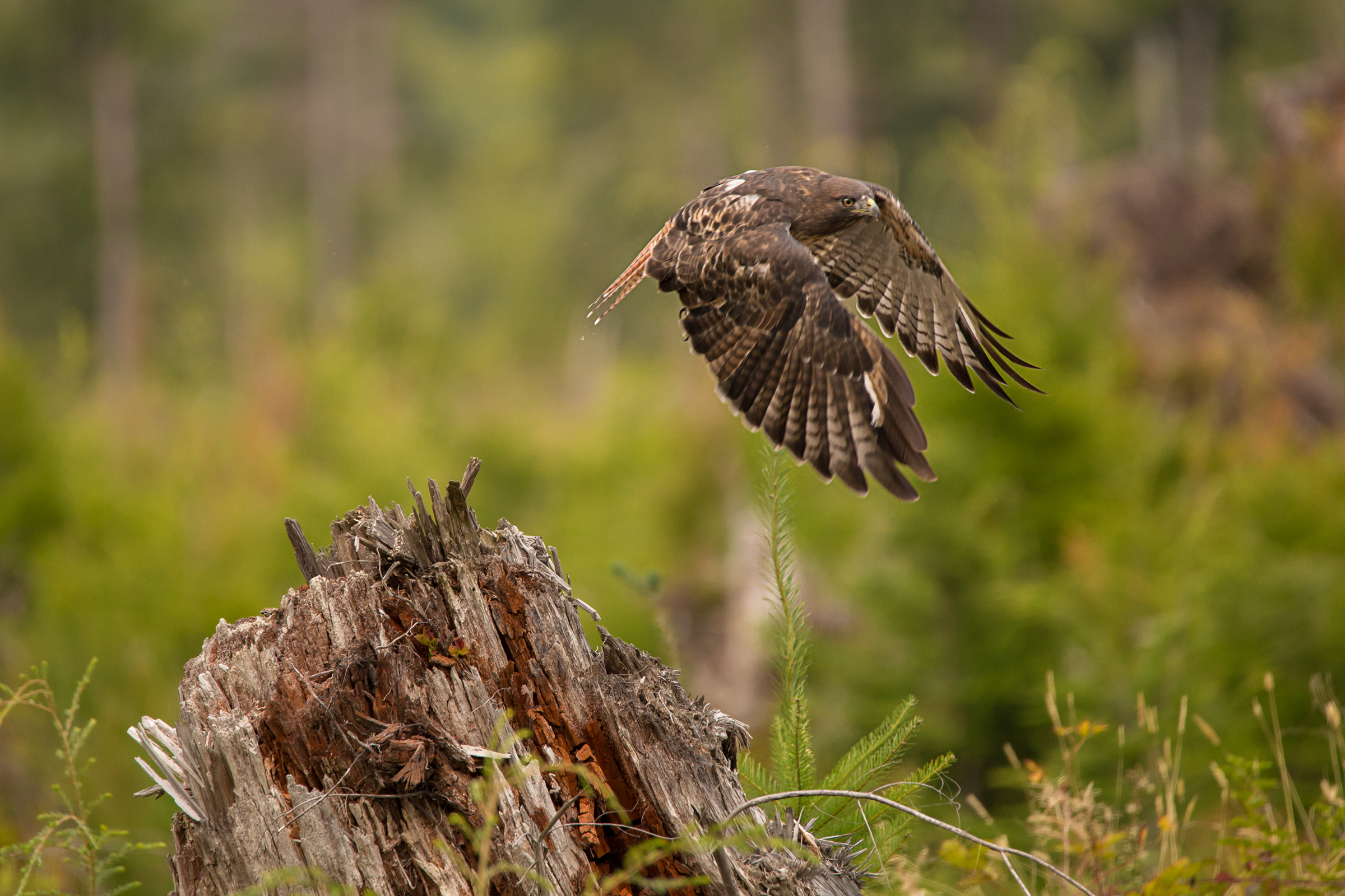 Hawk Web.jpg
