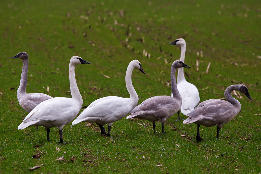 Snow Goose1 Web.jpg
