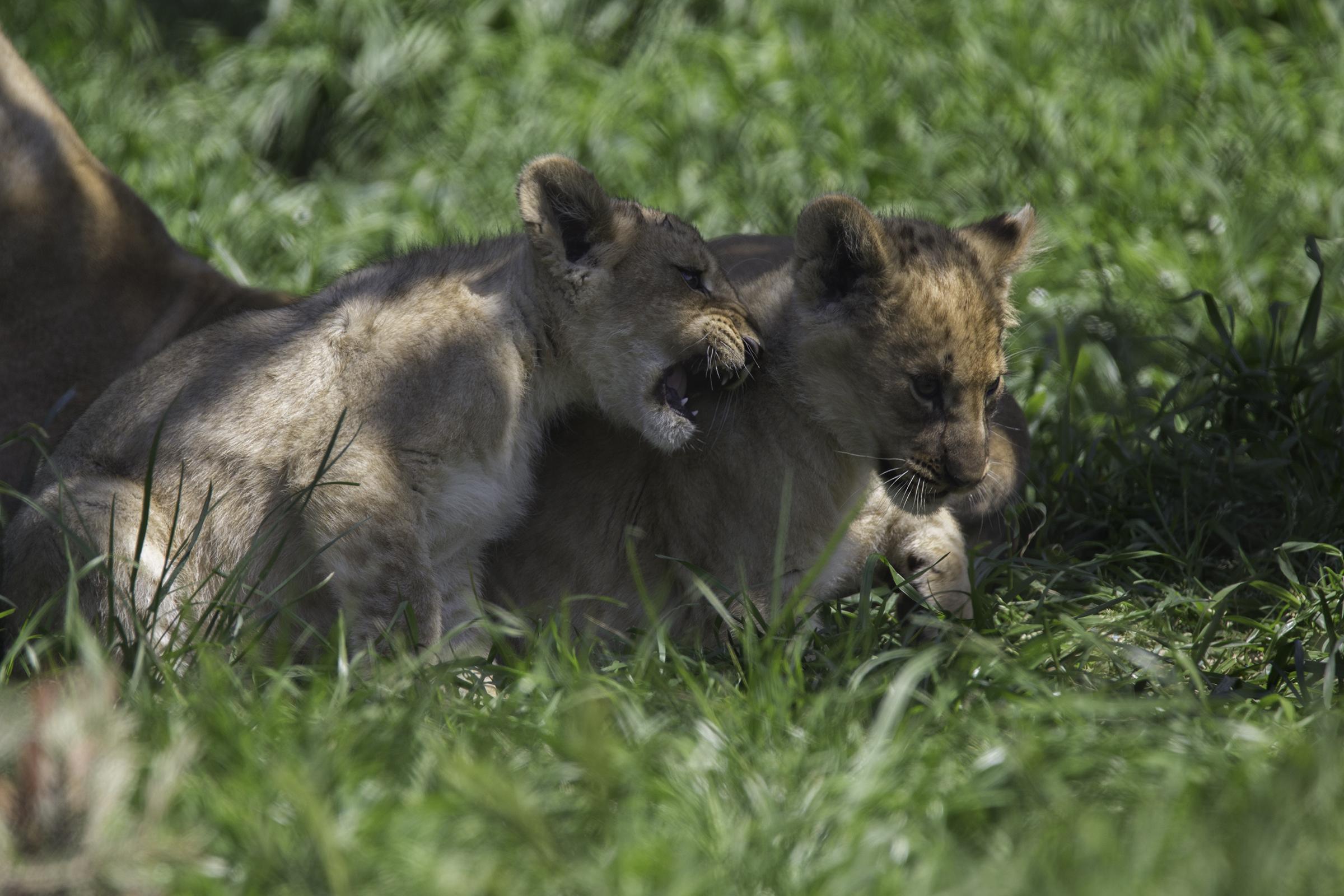 Lions 4 Web.jpg