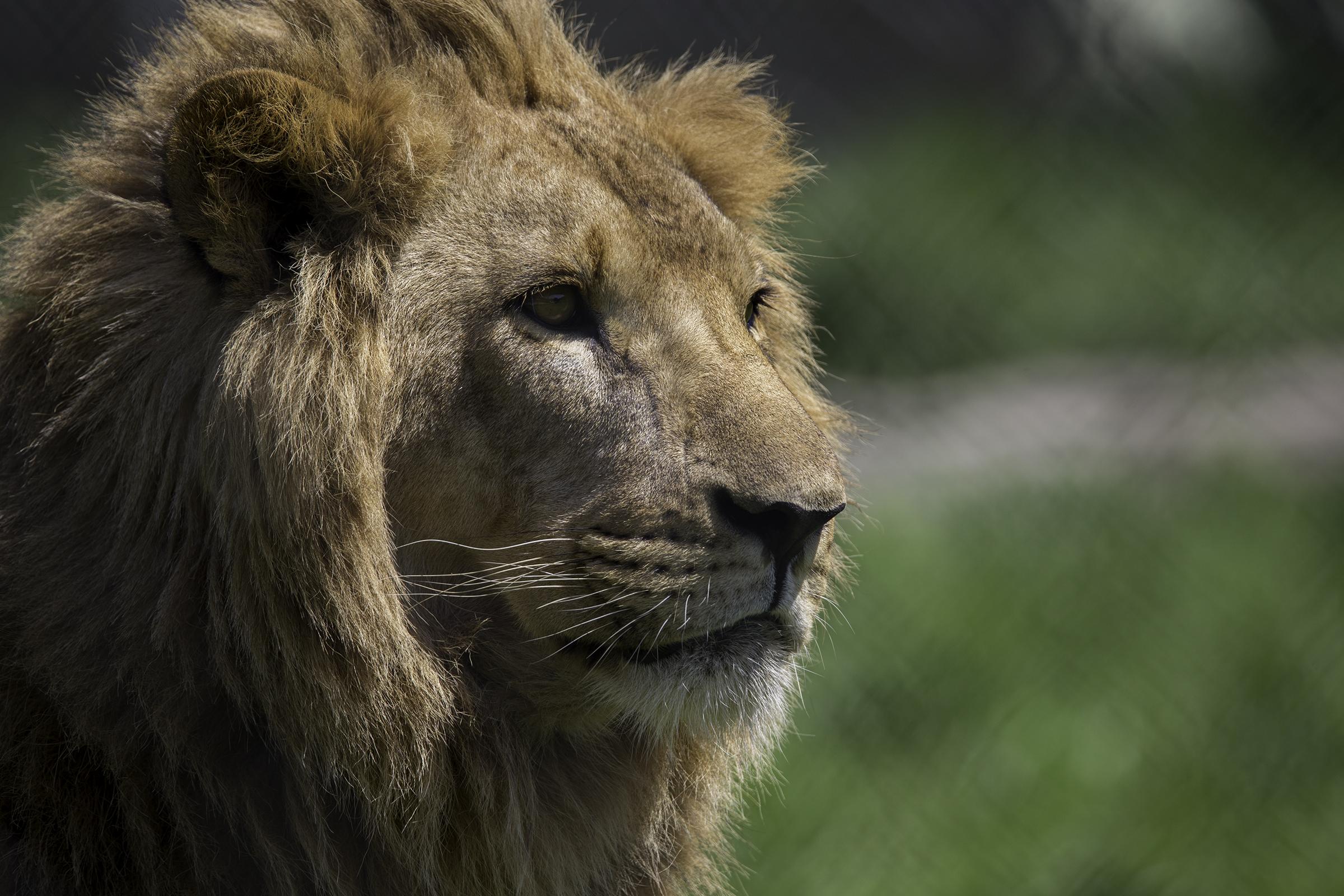Lions 5 Web.jpg