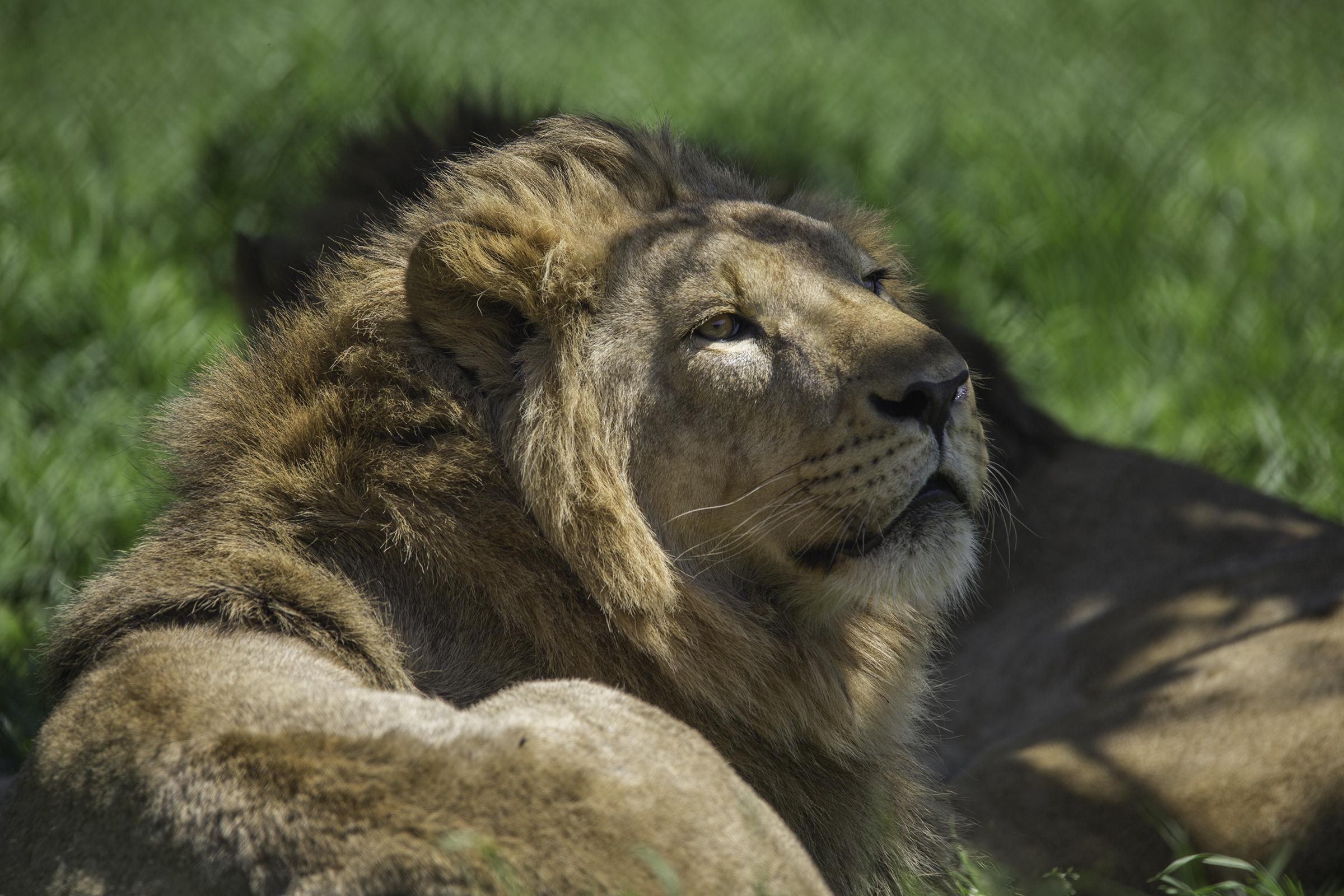 Lions 7 Web.jpg