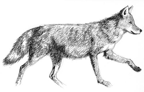 Coyote, bad.