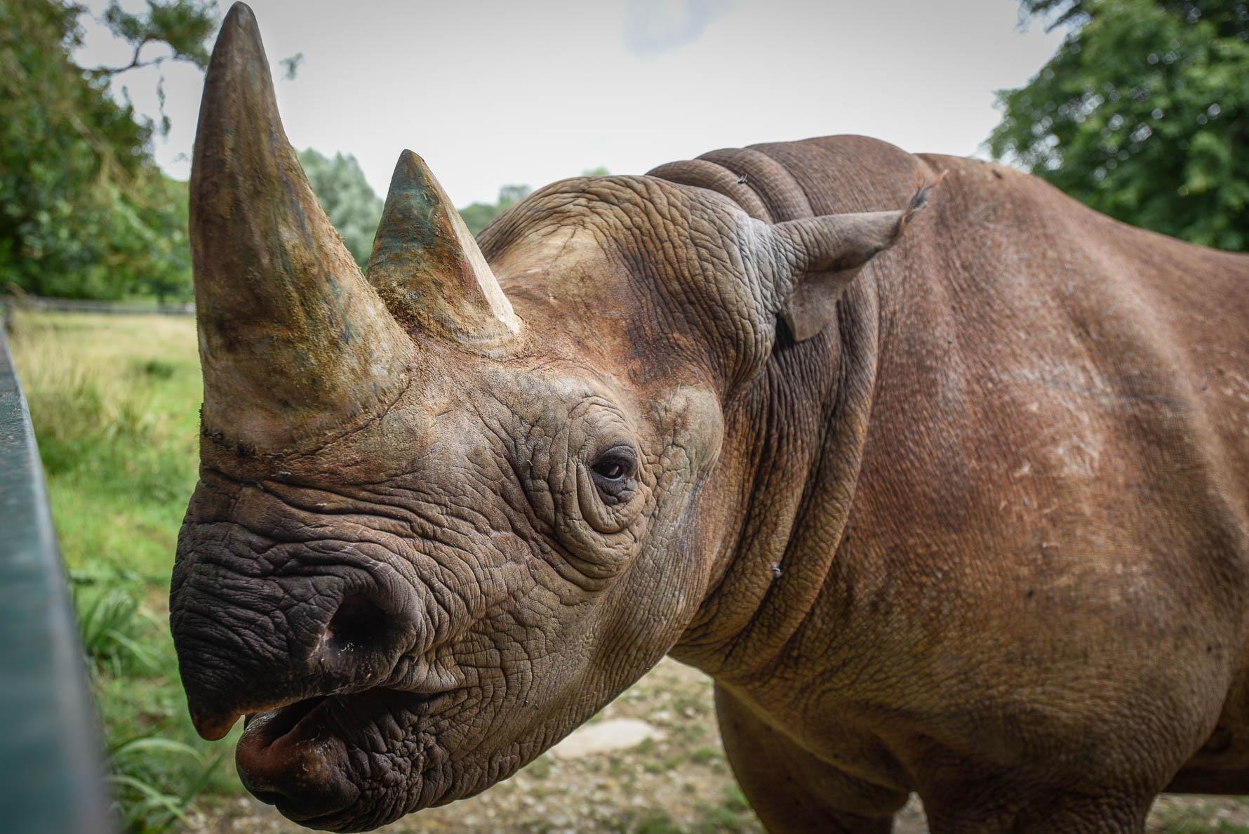 Rosie the Black Rhino