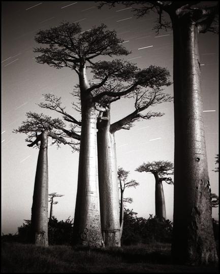Baobabs.jpg