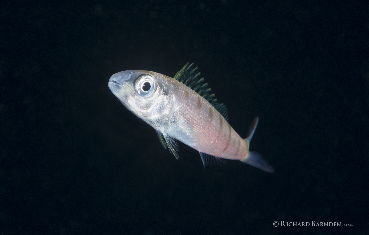 Green Jobfish (Aprion virescens) Post Larval_.jpg