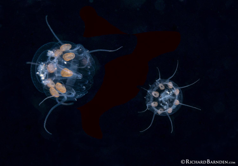Jellyfish Nausithoe Punctata Drifting By.jpg