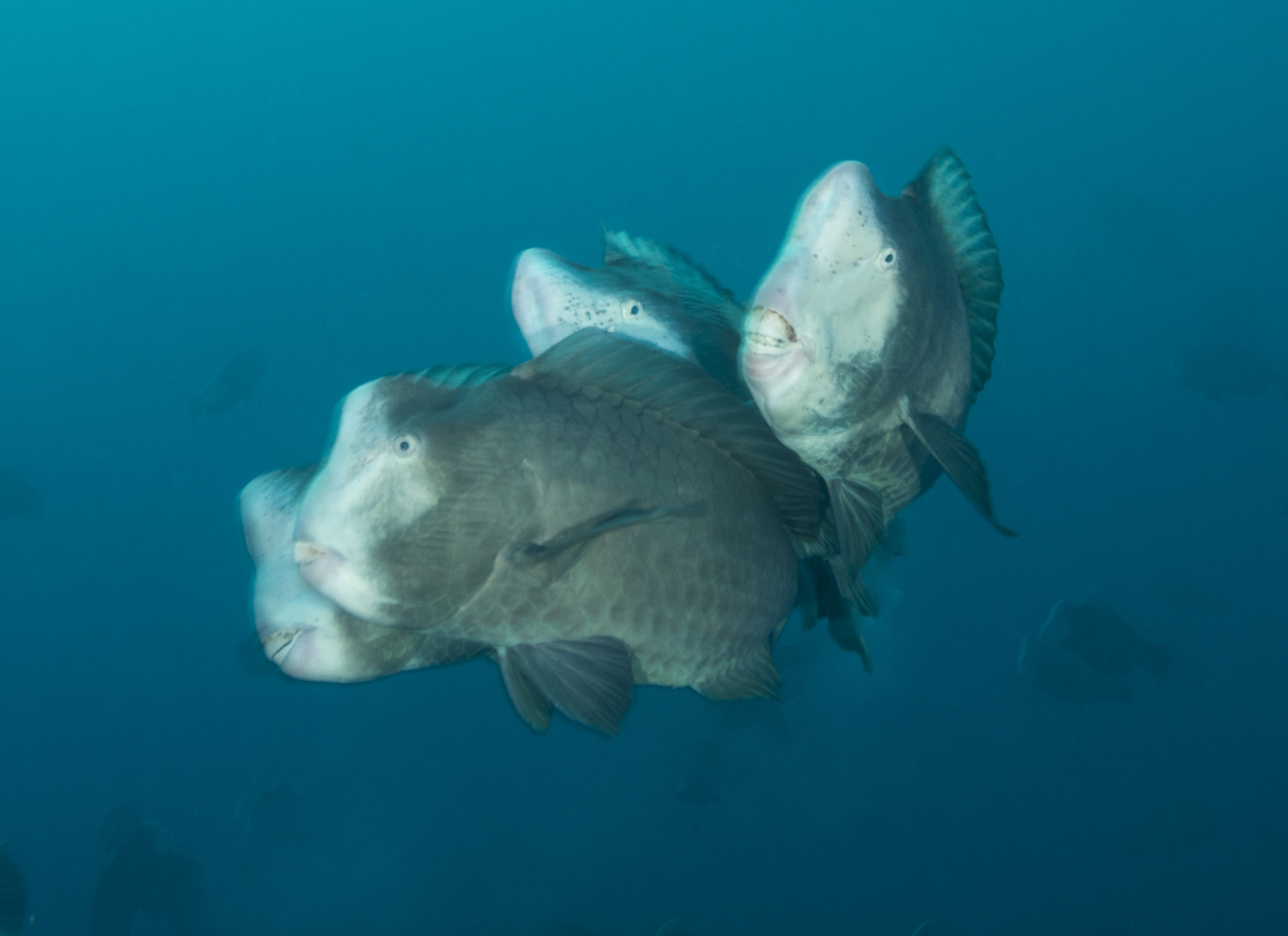 Bumphead Parrotfish (Bolbometepon muricatum)Joing Heads Together To Mate.jpg