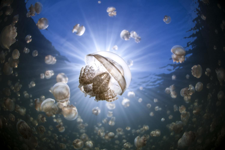 Jellyfish Lake Siloutte Whole Body.jpg
