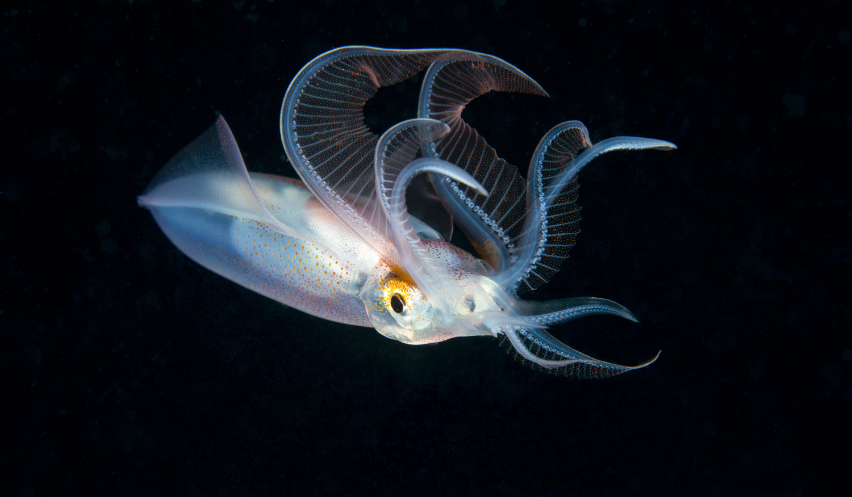 Unknown Squid Hunting.jpg