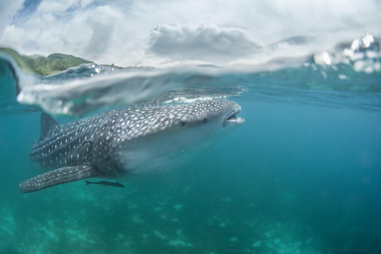 Whaleshark Split Shot Oslob Philippnes.jpg