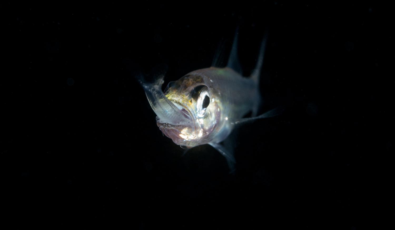 Cardinalfish Hunting Lantern Fish.jpg