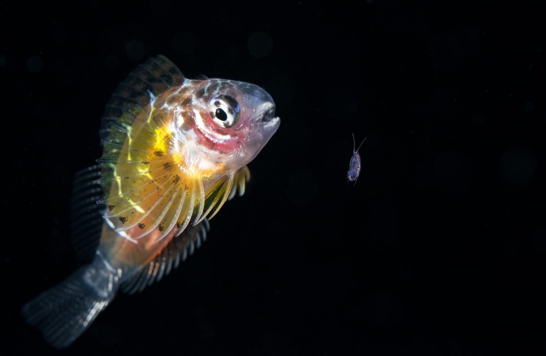 Juvenile Blennie Hunting Copepod.jpg