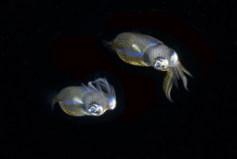 Pygmy Squid Profile.jpg