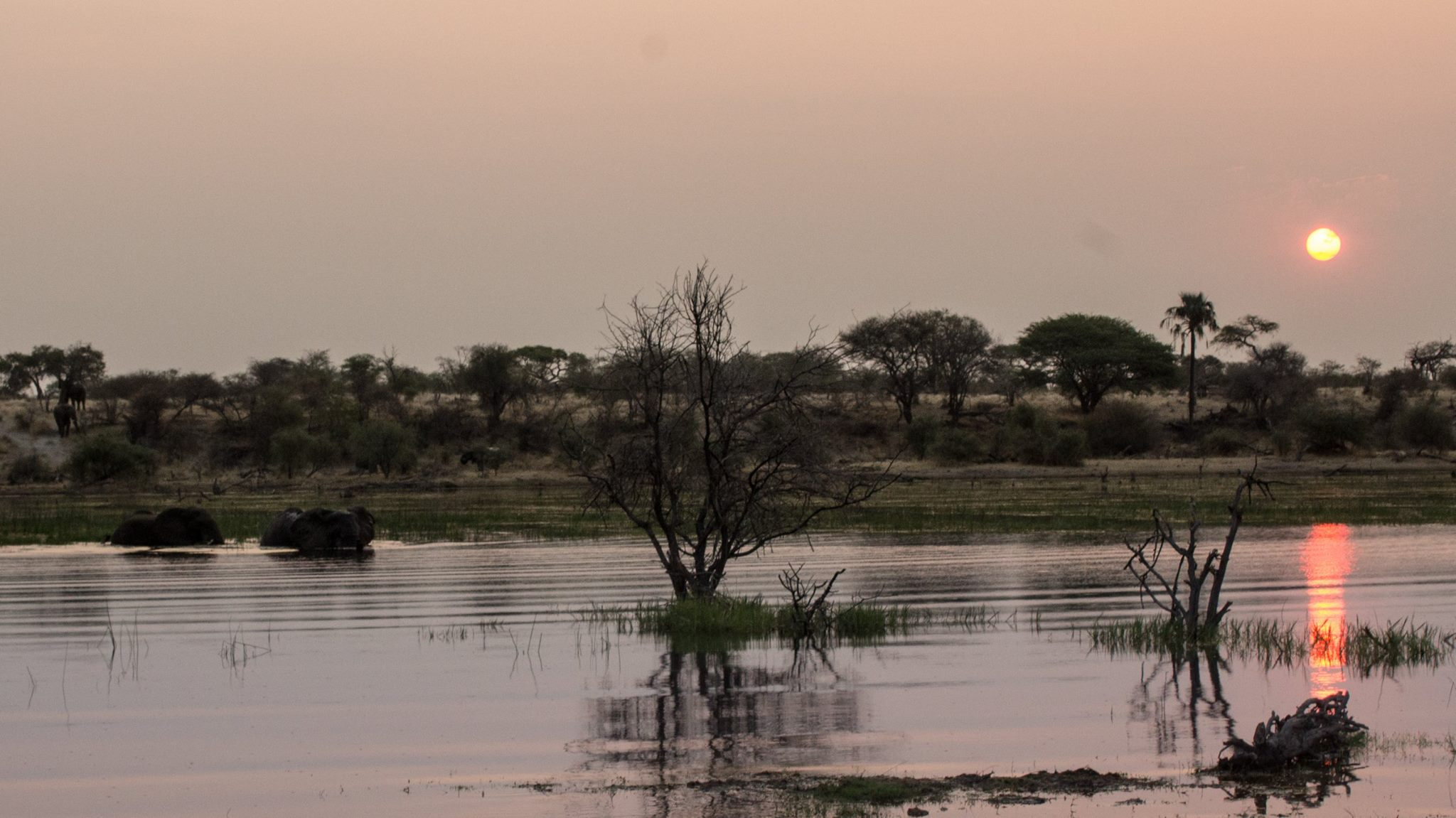 Elephants swimming across the Boteti River at sunset.