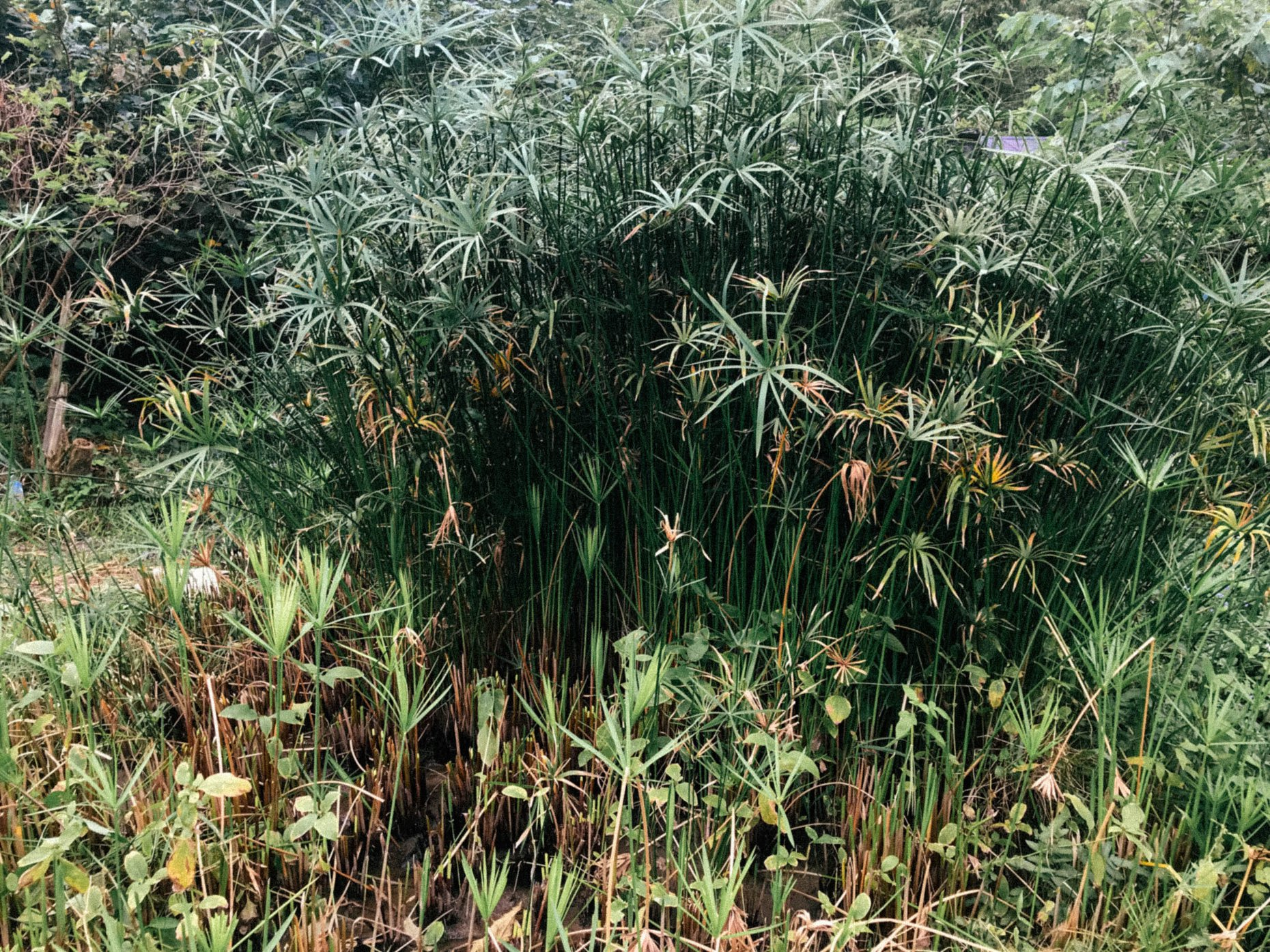 Arik: 最困難的是在砍輪傘草遇到其他植物糾纏的時候。因為其實田裡不只有輪傘草還有其他植物像小花蔓澤蘭就會纏繞在輪傘草上,如果不小心就會折斷輪傘草,就會損失一部分的草量。  最難忘的是,連夜趕著剖草然後隔天一早56點起床砍草,下午再去一趟。連續著幾天過著很充實的部落婦女生活!