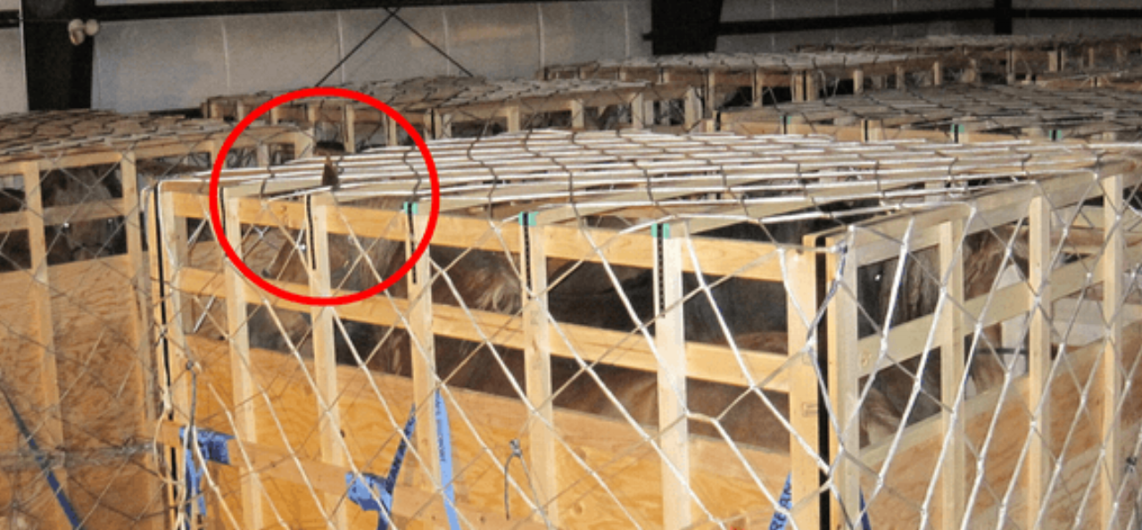 Horses unable to stand in a natural position for 20+ hours  . Head and ears hitting top of wooden transport crate.  Credit: https://defendhorsescanada.org/a-consolidated-review-of-the-live-draft-horse-shipments-from-canada-to-japan