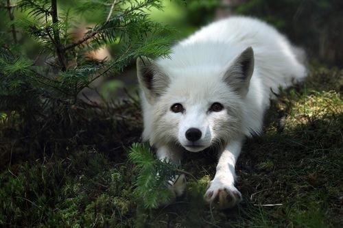 Dhaena's fox form