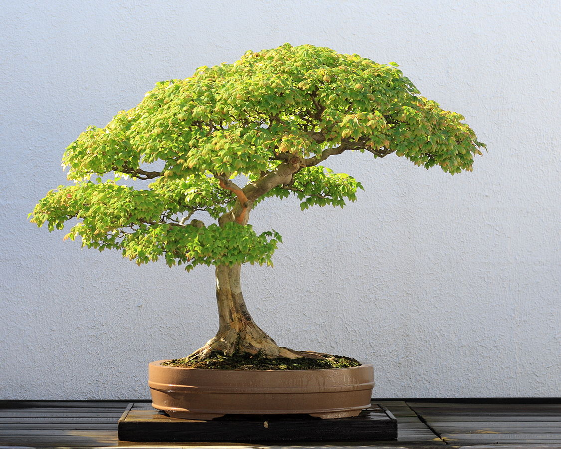 Image courtesy of Sage Ross (Licensed under CC BY-SA 3.0 via Wikimedia Commons, https://commons.wikimedia.org/wiki/ File:Trident_Maple_bonsai_52,_October_10,_2008.jpg#/media/File:Trident_Maple_bonsai_52,_October_10,_2008.jpg)