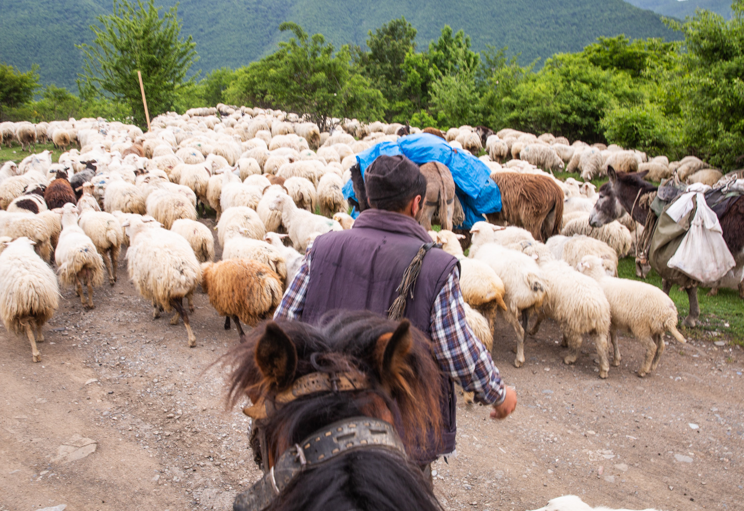 Sheep herding outside of Tbilisi, Georgia