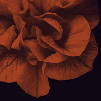 CAB17 Red Rose 1.jpg