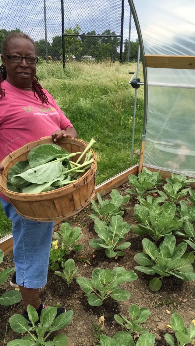 First collard harvest at Fort Stanton Farm!