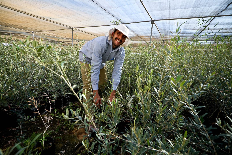 Egypt-olive-seedlings-nursery.jpg