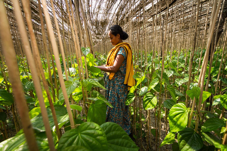 Bangladesh-paan-leaves-agriculture.jpg