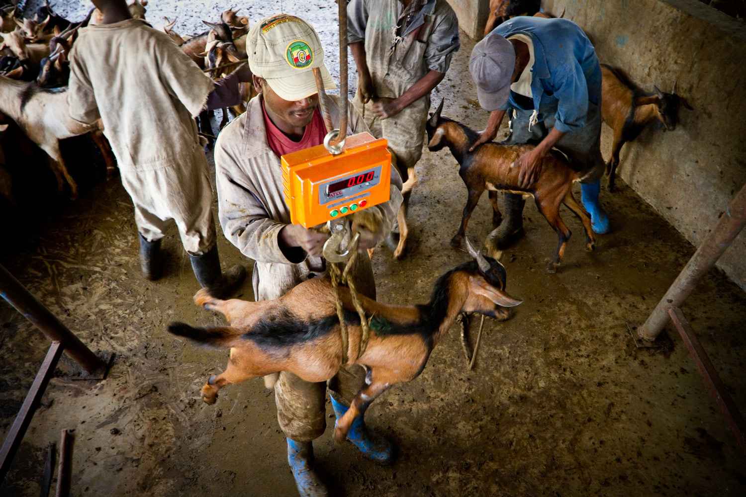 ethiopia-goats-weigh-slaughterhouse.jpg