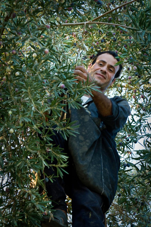 Egypt-olives-picker-Siwa-oasis.jpg