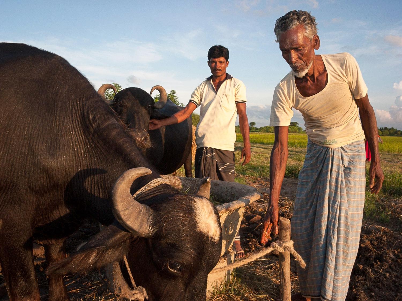 bangladesh-water-buffaloes.jpg