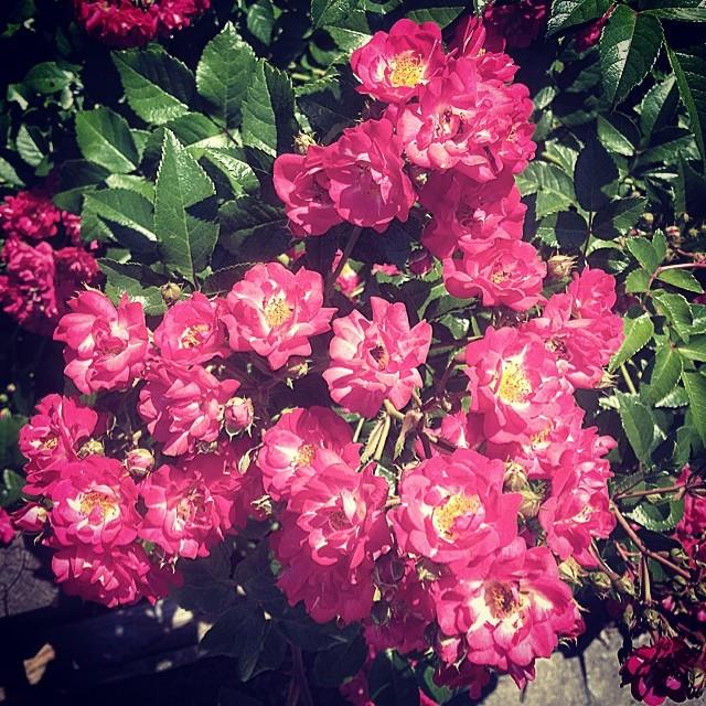 Beautiful Monday.  #brooklyn #summer #flowers #prettystuff #ivegottimetosmelltheroses