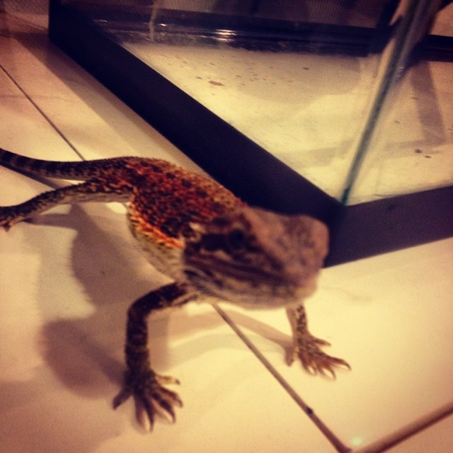 Vishnu… My work mascot.  #brooklyn  #pets #lizard