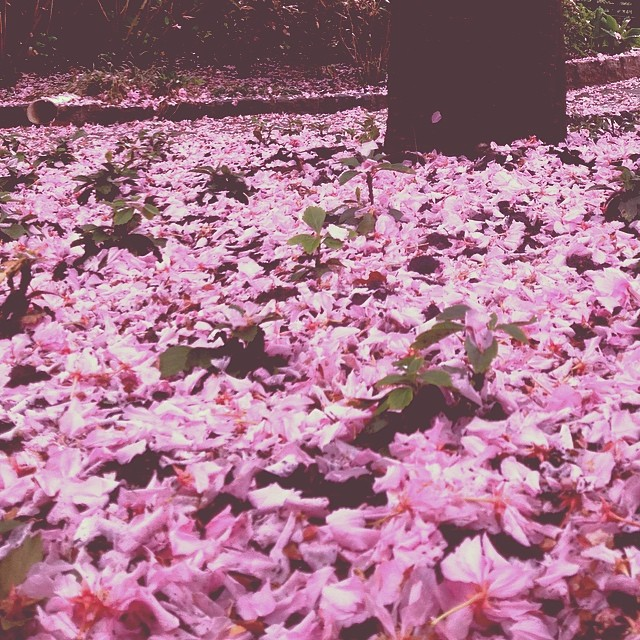 In the Pinkness #brooklyn #nature #pinkmatter