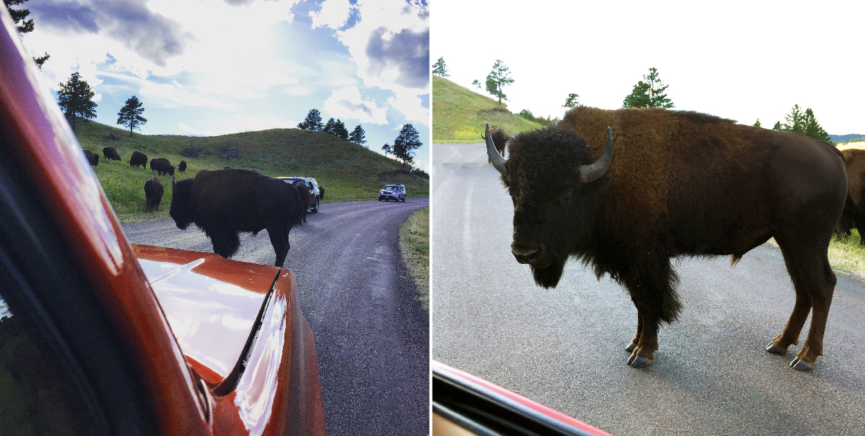 This bison moves for no one.