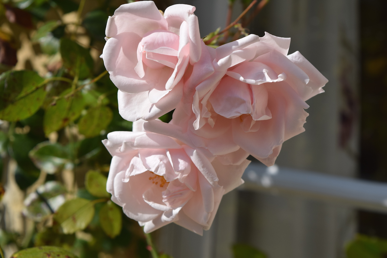 white hart cottage roses.JPG