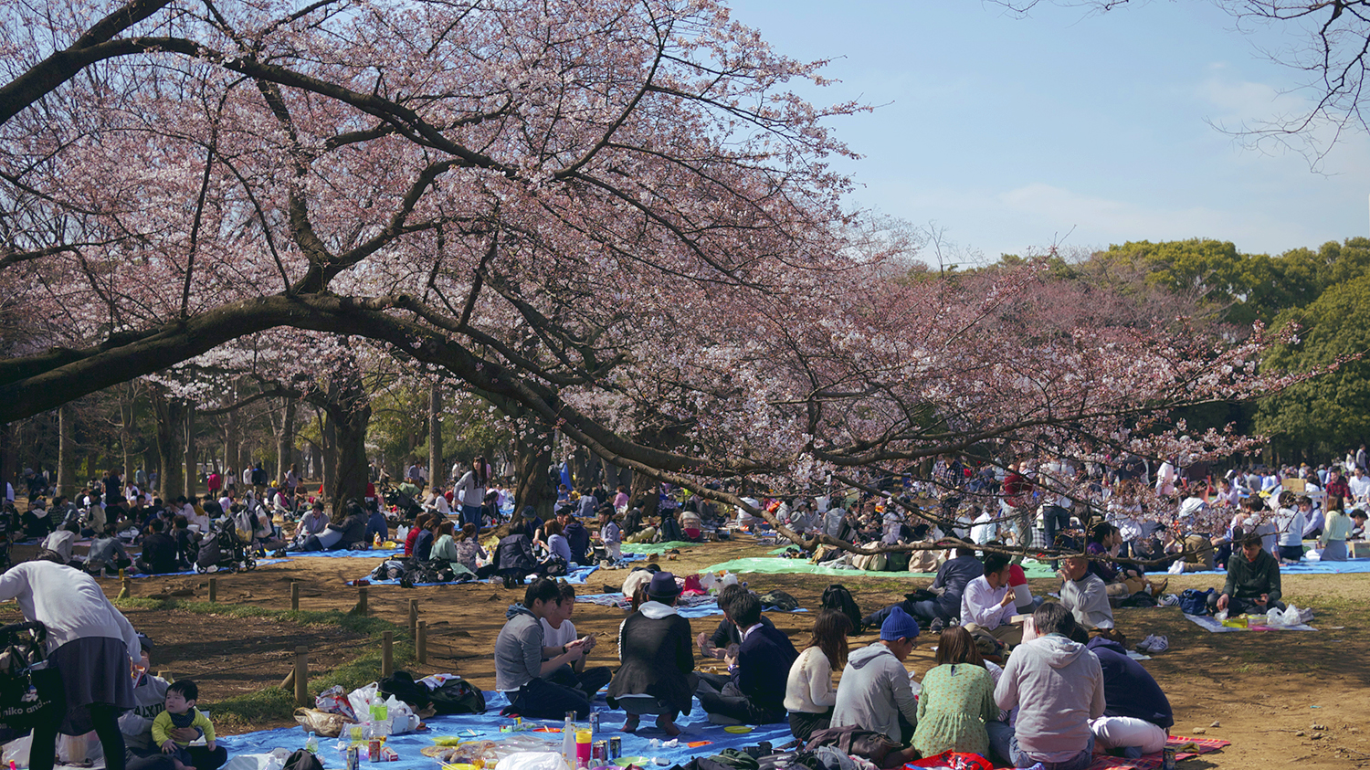 """Hanami (or """"flower viewing"""") picnics are incredibly popular in Japan. Yoyogi Park in Tokyo is inundated with people, from company parties, to big groups of friends, to families enjoying the soft rain of petals. It's customary to bring a large tarp to share, throw in some food and drinks and spend an entire day in the park. As is typical in Japan, shoes must be removed when going inside - that means no shoes on the tarps!   photo by Shell, Kitty & Buck [click through for more!]"""