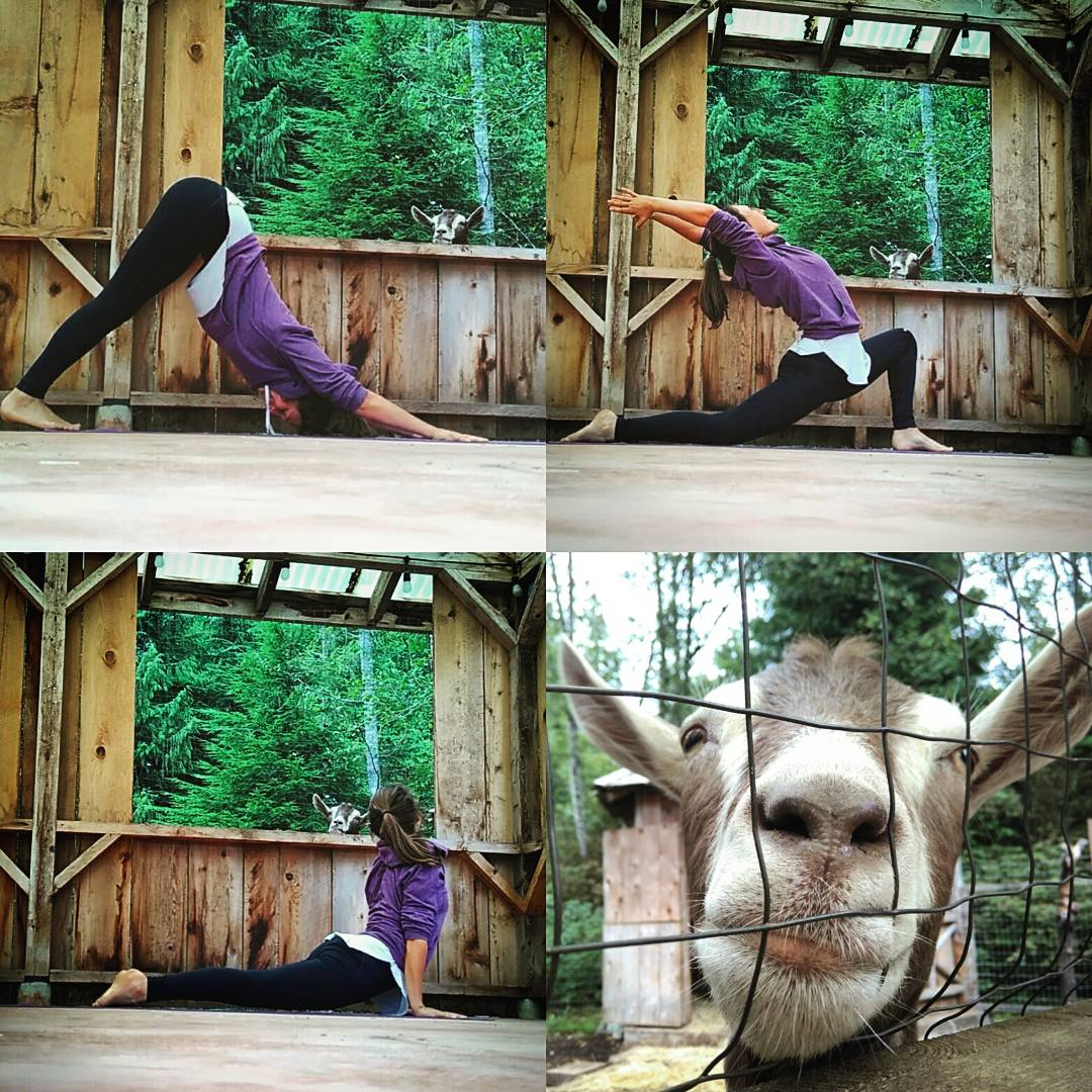 Teaching Yoga with the goats at tofino botanical gardens, summer 2017