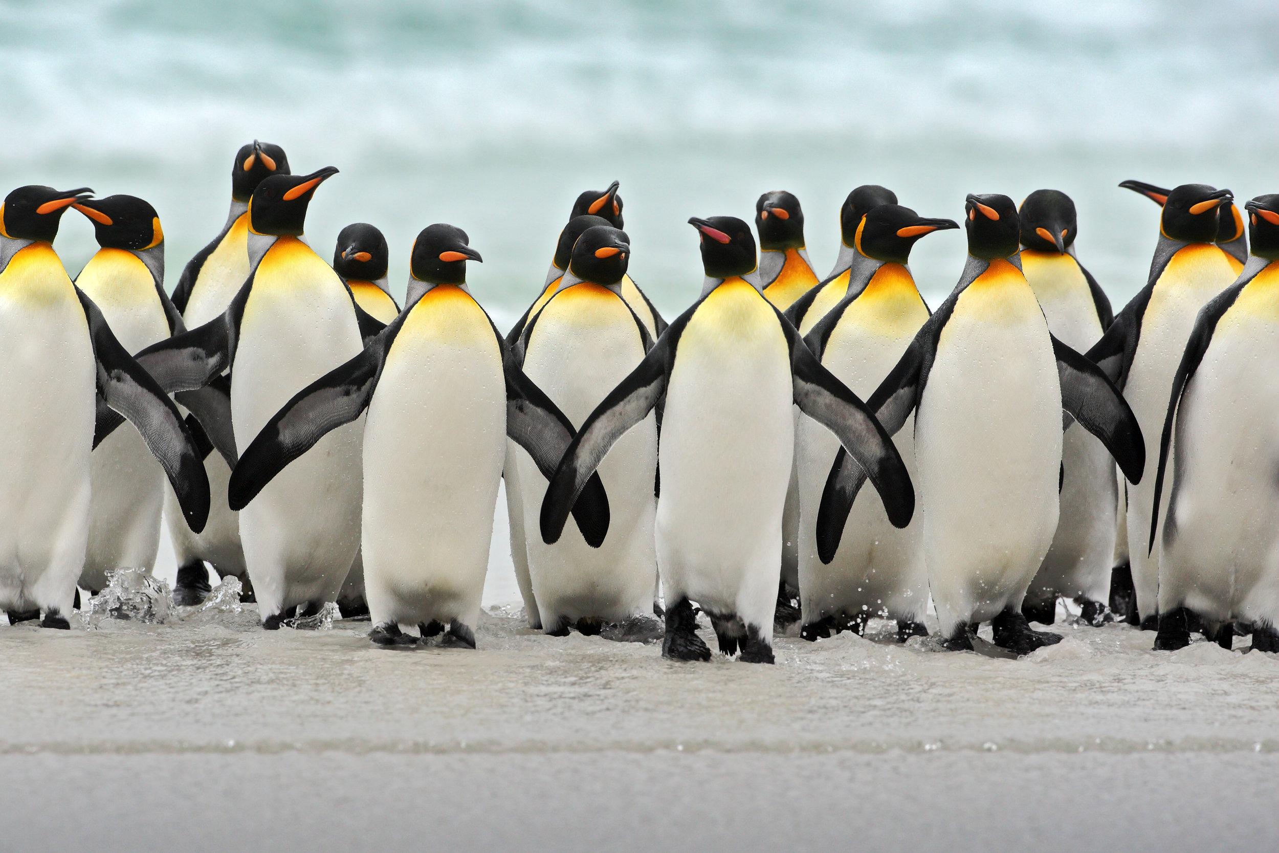 Group of king penguins (C) OndrejProsicky via Depositphots.jpeg