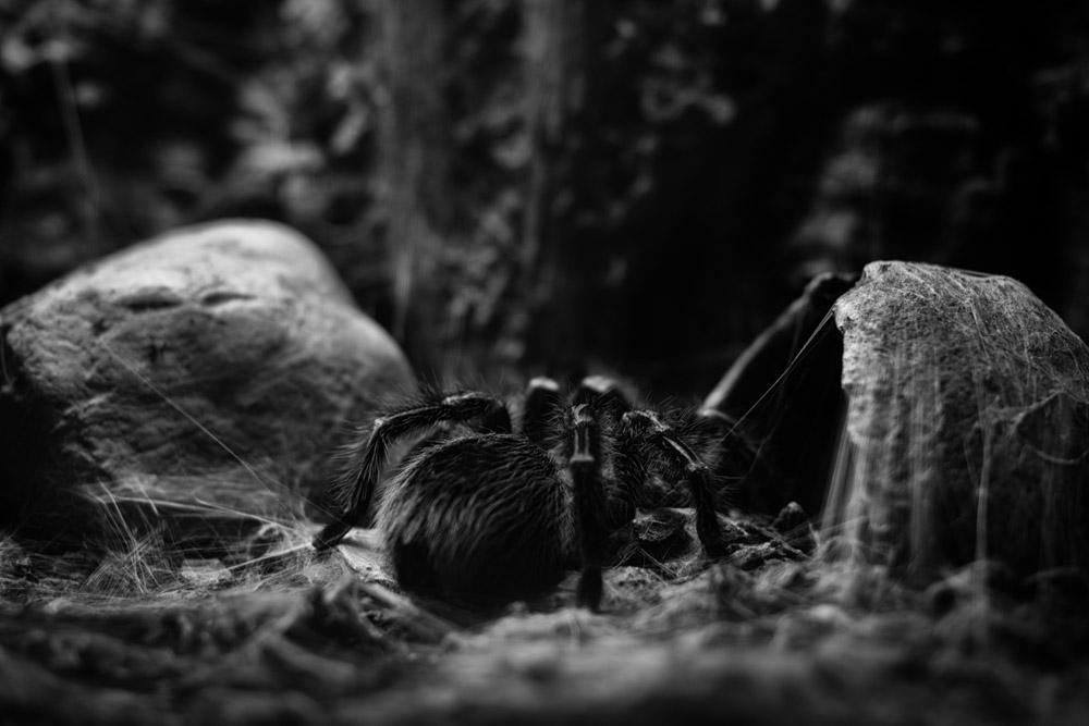 Tarantul