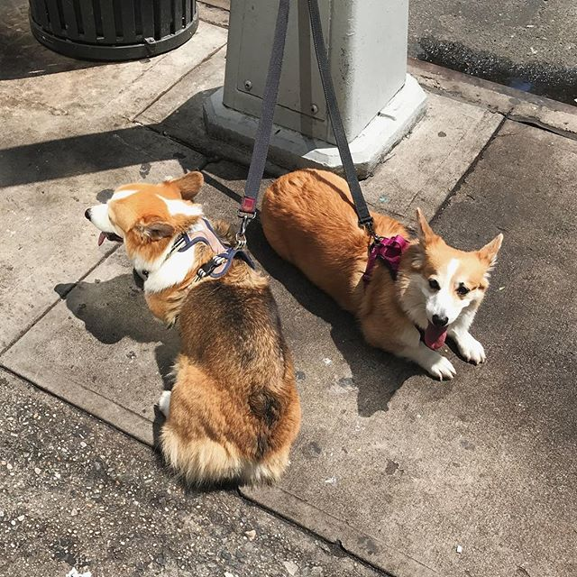 happy sunday! here are a pair of corgis I saw last summer 😭