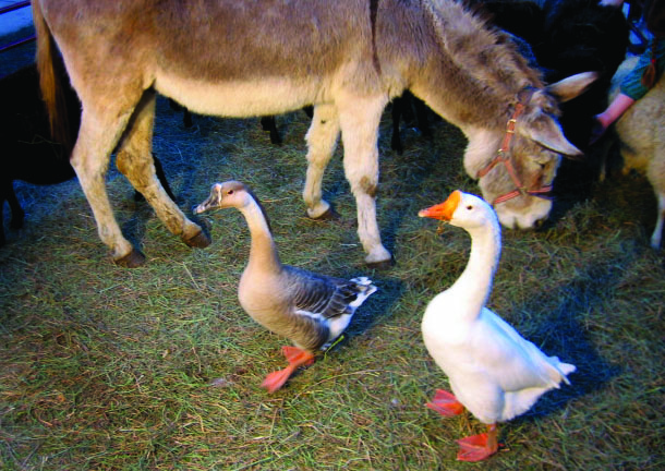 1.99 Donkey with geese.JPG