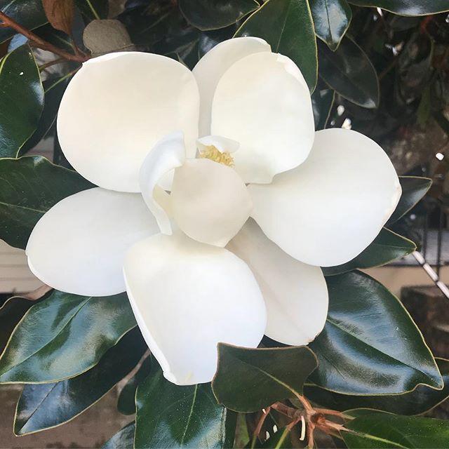 Perfect elegance from Magnolia Grandiflora. #neworleans #tblastweek #nola #flowers