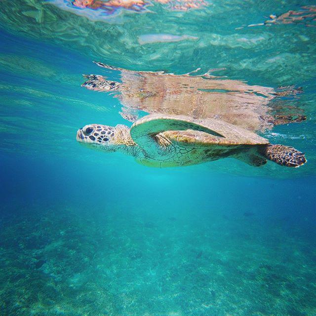 #oman #snorkeling #turtle #greenturtle @daymaniat.shells