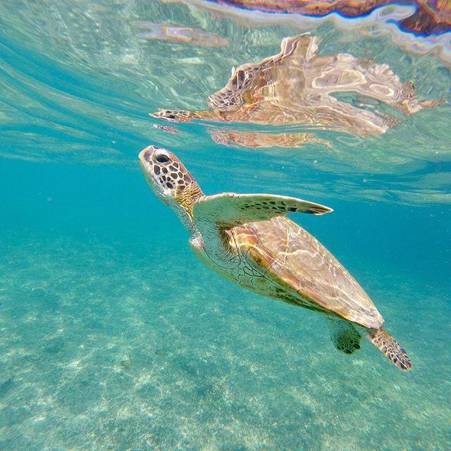So happy to seen 12(!) Green turtles on one snorkel in #daymaniatislands #oman.  Wonderful.  #gopro #turtle #snorkel #ocean #nature #sea