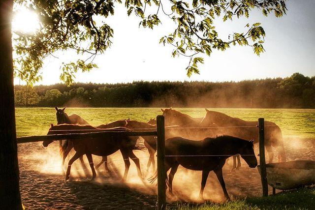 "🎼 ""Wild horses couldn't drag me away..."" #thebestcameraistheoneyouhavewithyou #roadsidephotography #naturephotography #sunset #outdoorphotography #horsephotography #brandenburg #elbeelster #germany"