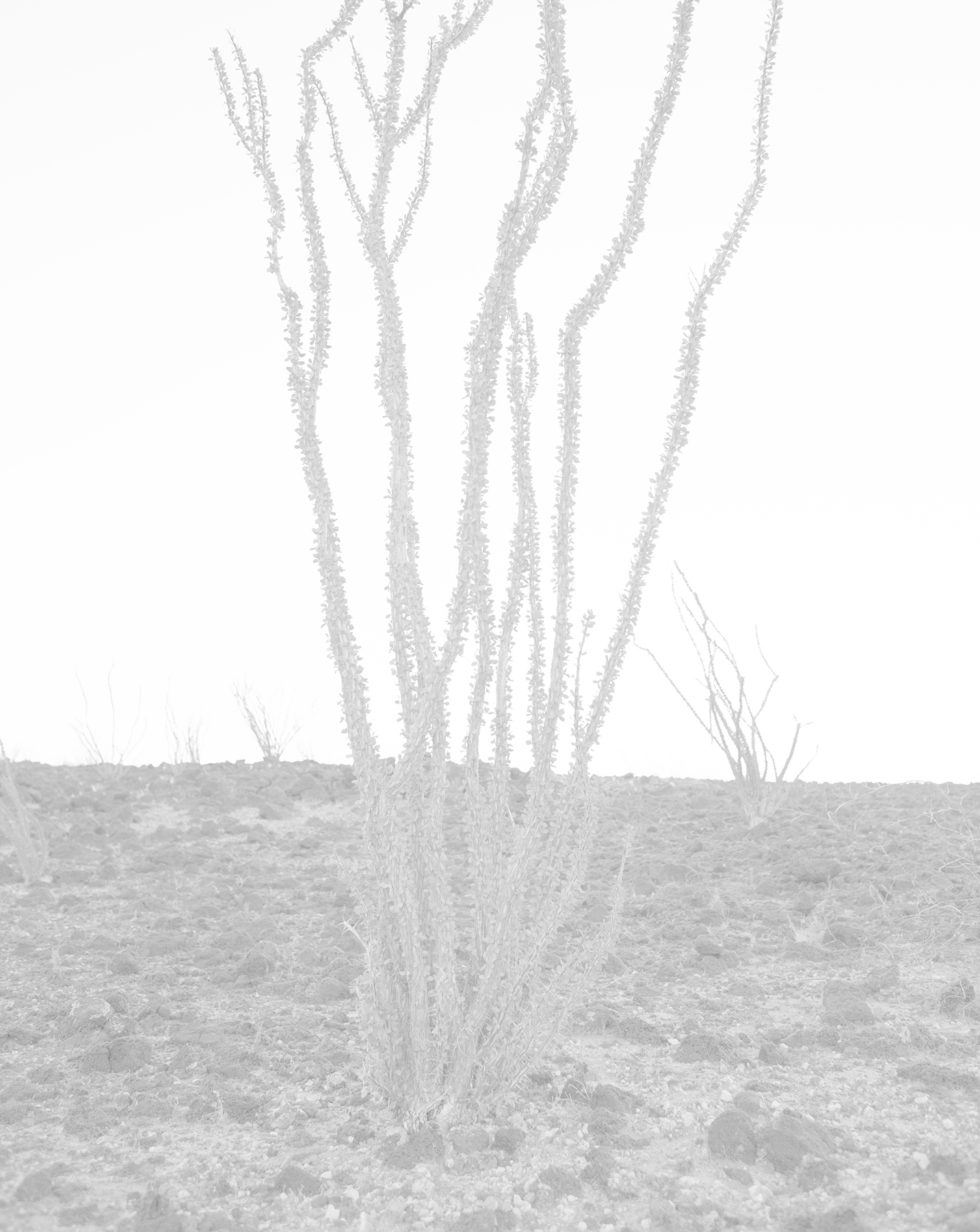 scott b. davis  ocotillo, ocotillo (no. 14),  2015/2016 palladium print 20 x 16 inches edition 1/5