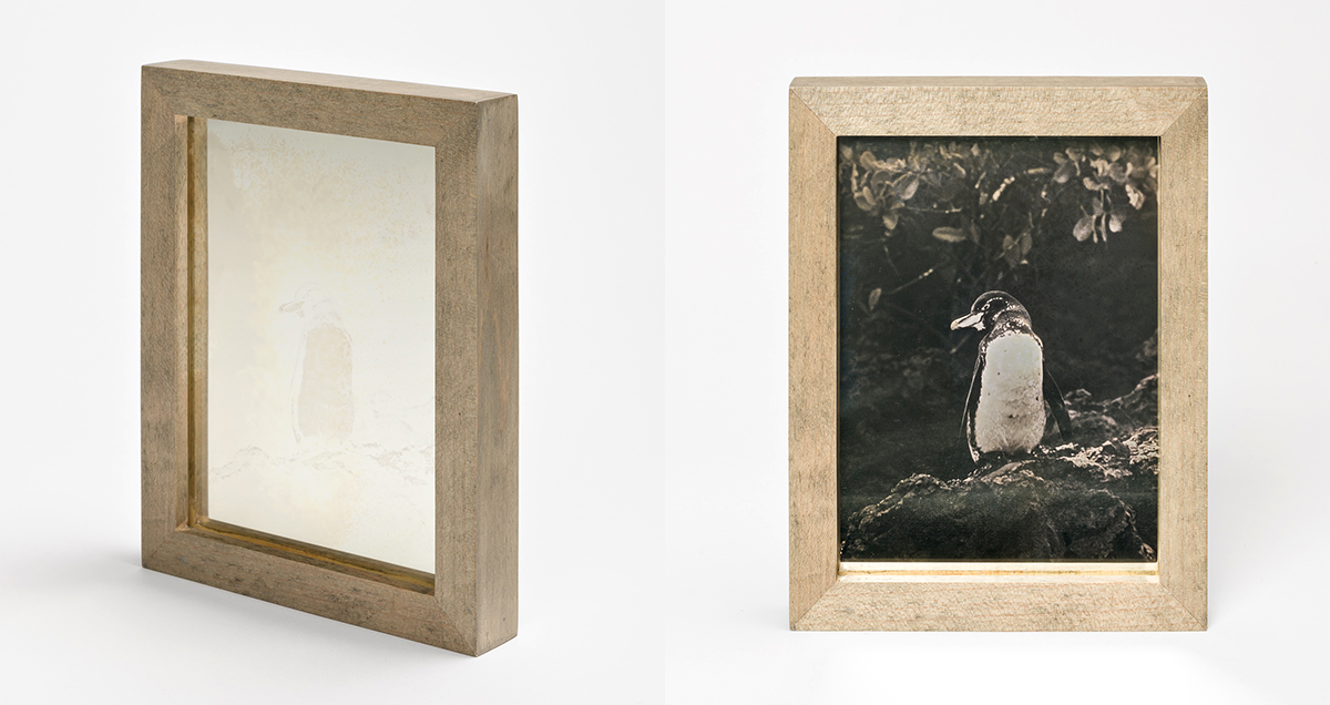 CHRISTINA SEELY Tropic - GALAPAGOS PENGUIN Daguerreotype, 2012-2016 Museum Sets, 4.5 x 5.5 inches, edition of 3 + 1AP Small Single Plates, 2.5 x 3 inches, edition 3 + 1AP