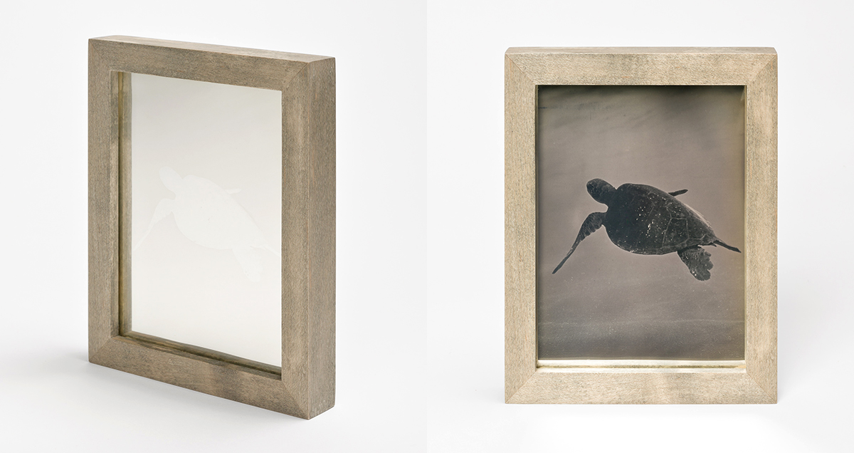 CHRISTINA SEELY Tropic - GREEN SEA TURTLE Daguerreotype, 2012-2016 Museum Sets, 4.5 x 5.5 inches, edition of 3 + 1AP Small Single Plates, 2.5 x 3 inches, edition 3 + 1AP