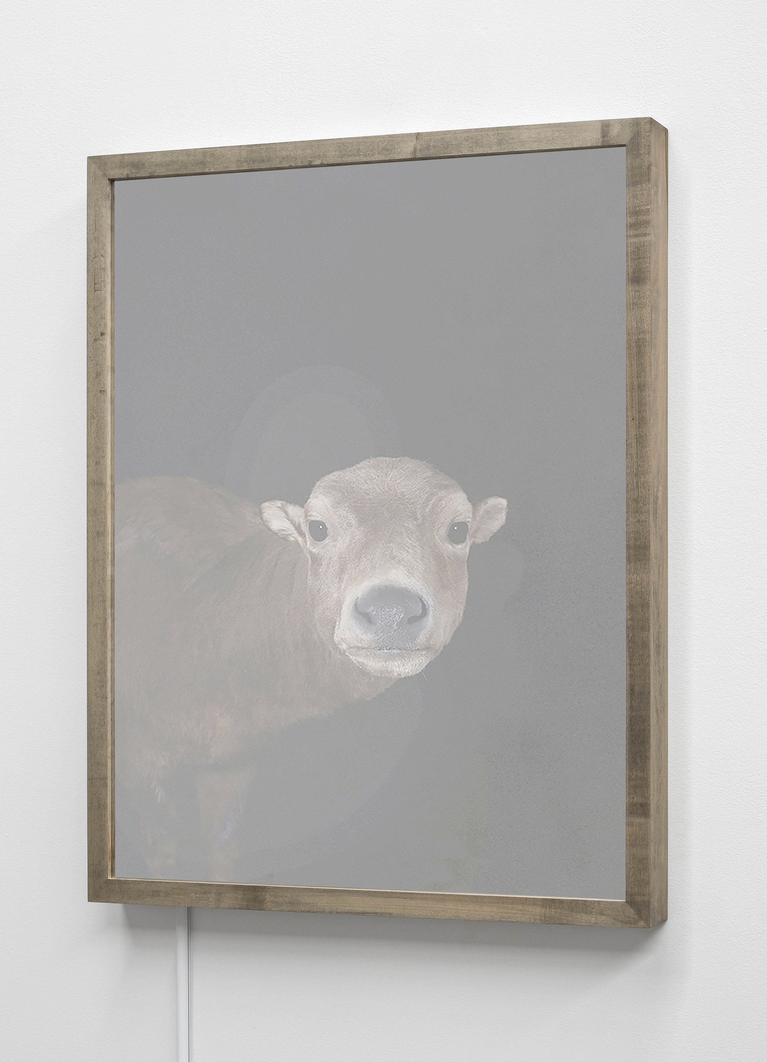 CHRISTINA SEELY  Mountain Anoa,  Bubalus quarlesi - Endangered Kinetic Mirrored Lightbox  Available sizes: 30 x 24 in | Edition of 3 + 1AP 20 x 16 in | Edition of 3 + 1AP